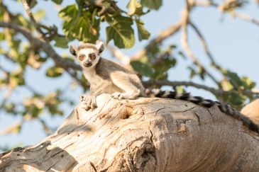 Lémurien au Lemurs' Park, Madagascar