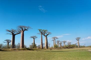 Allée des baobabs de Morondava, Madagascar