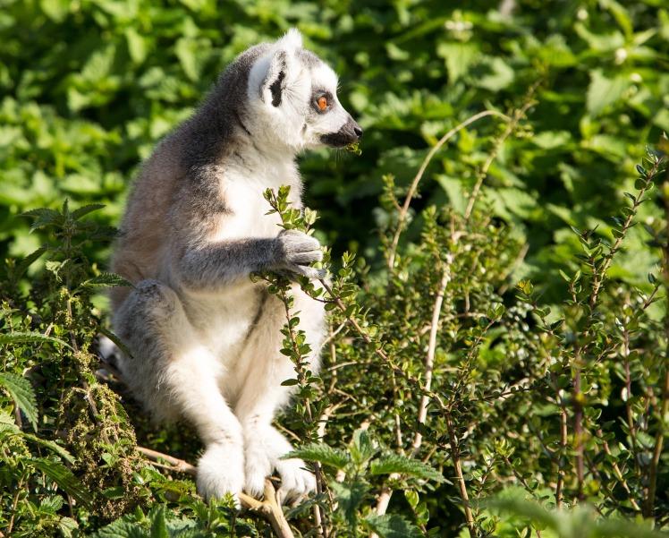 lemur-1475284_1920