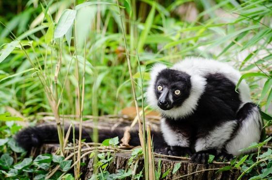 lemur-949394_1280