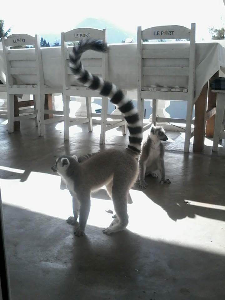 Lémurien dans une habitation, Madagascar